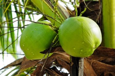 Zdrowa żywność - woda kokosowa
