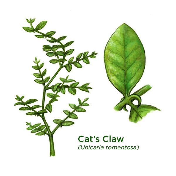 Koci Pazur – tajemnicze peruwiańskie zioło w pigułce